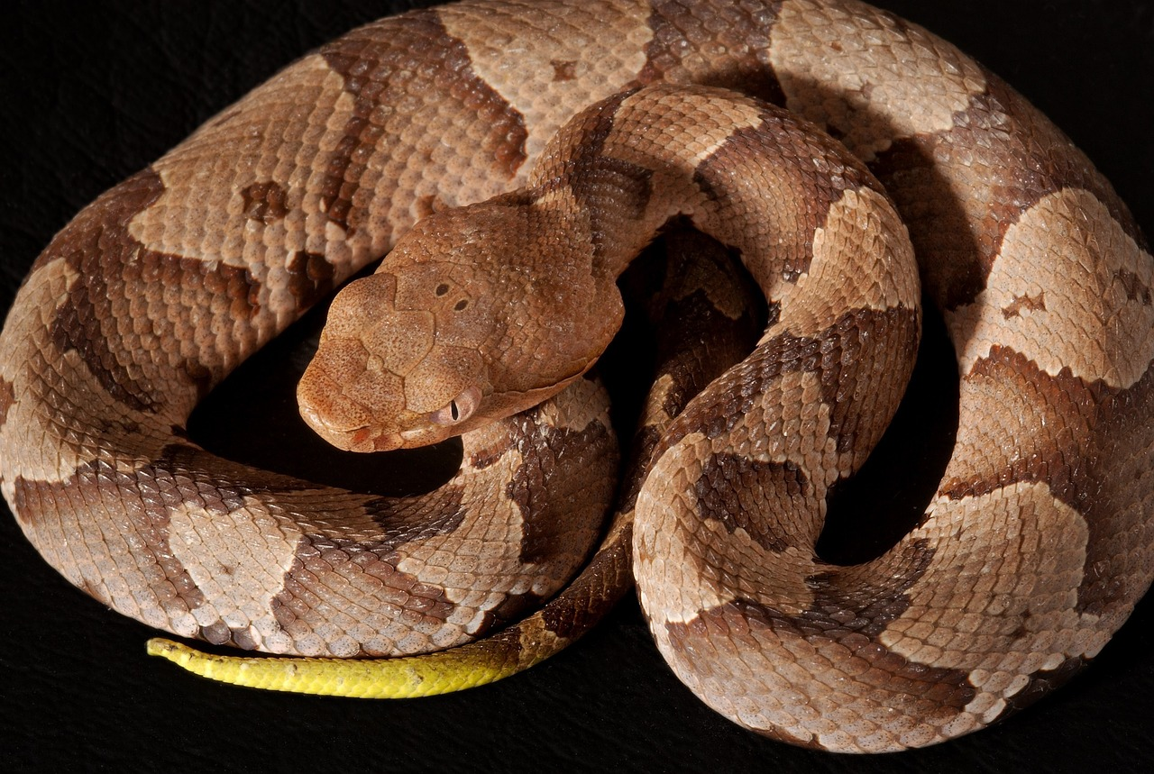 southern copperhead, viper, poisonous