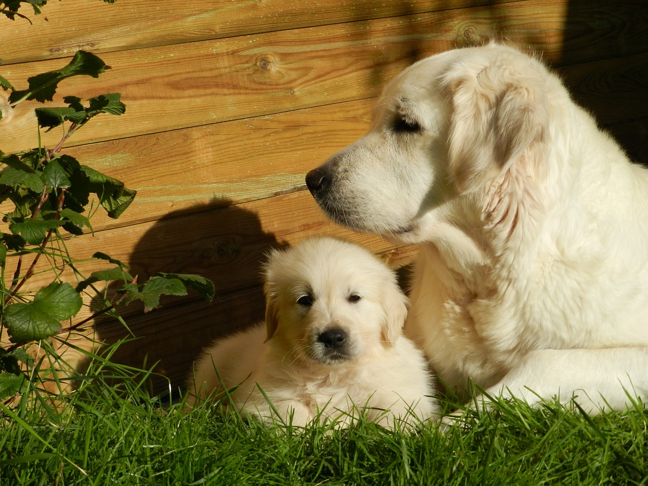 golden retriever, dog, puppy